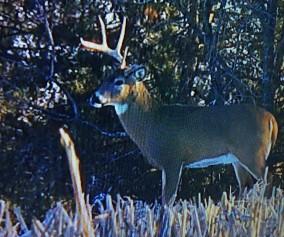One horned buck